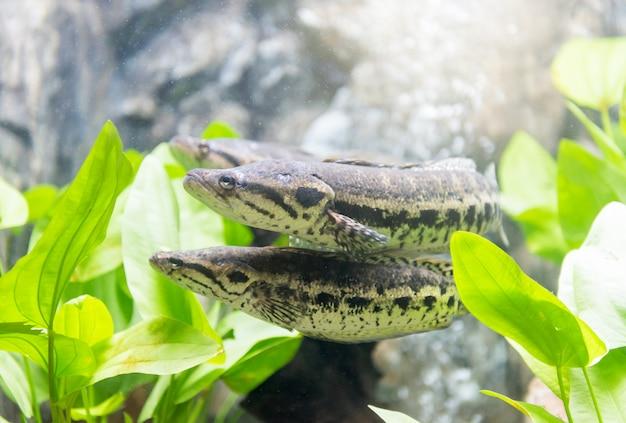 Tête de serpent marbrée