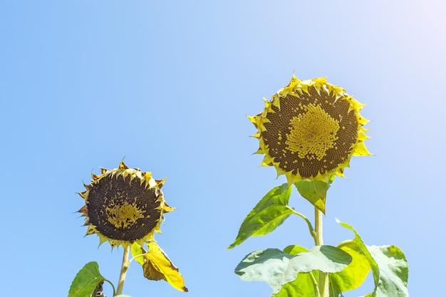 Tête de tournesol farcie de graines de tournesol contre le ciel bleu