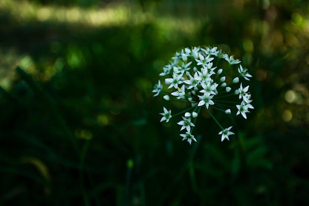 Têtes d'ail à fleurs blanches, connues comme l'ail, l'oignon chinois, l'ail oriental, le poireau chinois, fleurissant à l'automne.