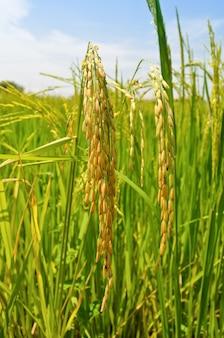 Têtes de céréales mûres dans le champ de riz, thaïlande