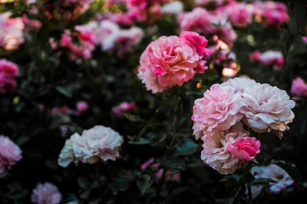 Têtes de fleurs étonnantes sur l'arbuste