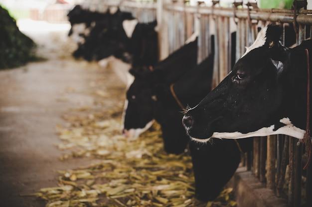 Têtes de vaches holstein noires et blanches se nourrissant d'herbe dans une écurie en hollande