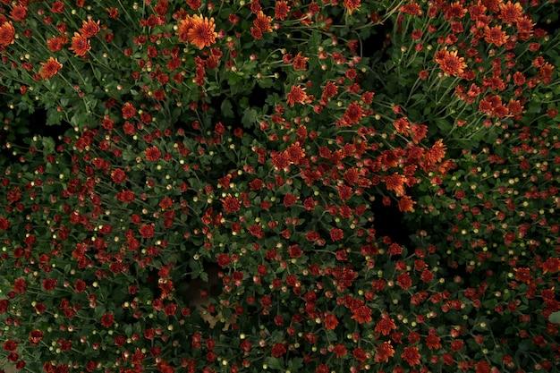Texture abstraite de chrysanthème d'automne rouge bluming