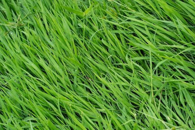 Texture d'arrière-plan, gros plan de l'herbe verte dans la texture de la pelouse comme arrière-plan.