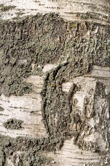 Texture en bois bouleau de l'écorce des arbres rugueux foncé couleur marron wirh copy space