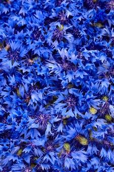 Texture de bourgeons de bleuets frais bleu, fond floral, bleuets sauvages