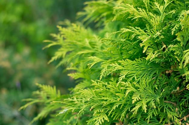 La texture de la branche de pin conifère cèdre thuya feuille texture verte feuilles vertes fraîches