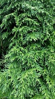 Texture de conifère, feuilles de thuya gros plan vert nature photo verticale
