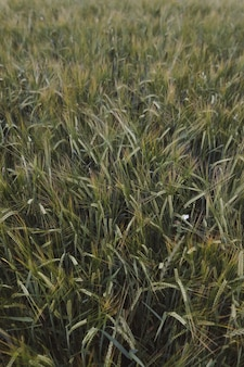 Texture des cultures de blé vert poussant sur le terrain