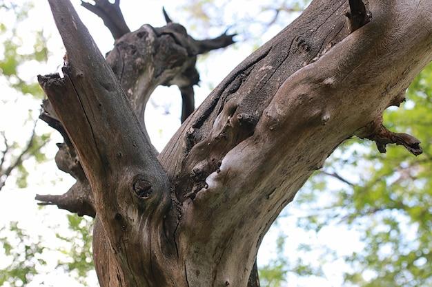Texture du vieil arbre desséché au début du tronc de printemps
