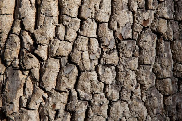 Texture d'écorce d'arbre ancien. fond de bois. arbre de kaki américain ou diospyros virginiana
