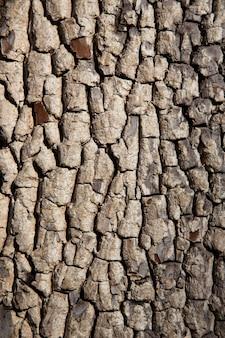 Texture d'écorce d'arbre ancien. fond de bois. kaki américain ou diospyros virginiana. prise de vue verticale.