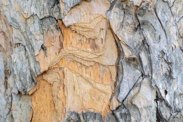 Texture d'écorce d'arbre éclatée en couches