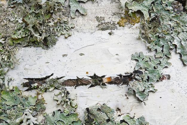 Texture d'écorce de bouleau blanc avec gros plan de mousse.
