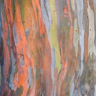 Texture d'écorce d'eucalyptus deglupta