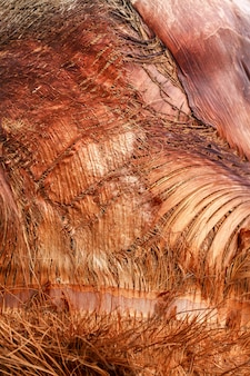 Texture d'écorce de palmier.