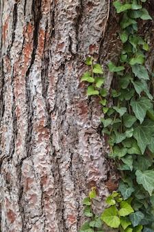 Texture d'écorce de pin. arbre ou pin dans la forêt. fond d'écorce d'arbre.