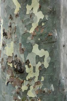 Texture d'écorce de platane dans des couleurs kaki