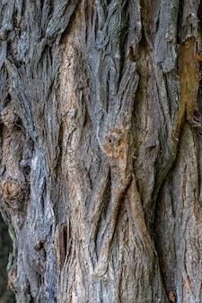 La texture de l'écorce d'un vieil acacia. écorce d'acacia