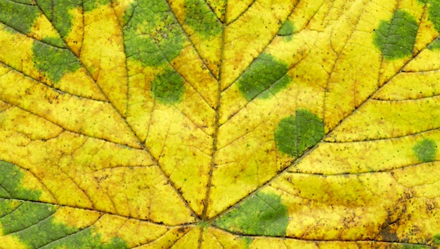 Texture de la feuille d'automne