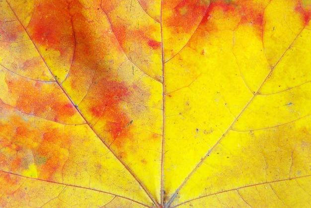 Texture d'une feuille d'érable en arrière-plan