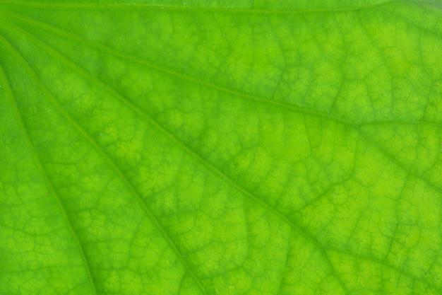Texture de feuille de lotus vert parfait - gros plan