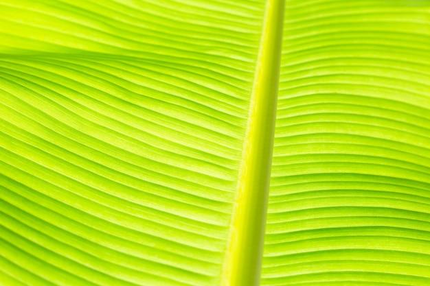 Texture de feuille verte de banane fraîche