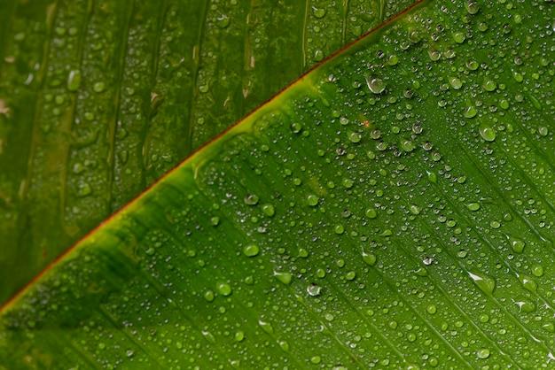 Texture de la feuille verte avec des gouttes d'eau