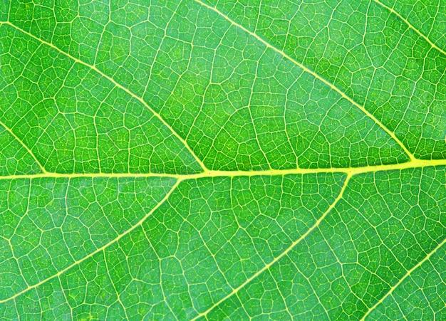 Texture de la feuille verte naturelle