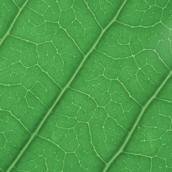 Texture de la feuille verte pour le fond