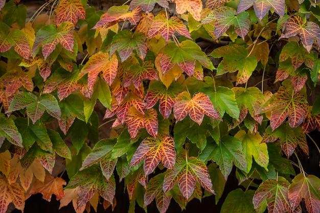 Texture de feuille verte et rouge d'une plante grimpante en automne