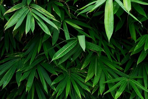 La texture des feuilles de bambou vert pour le fond