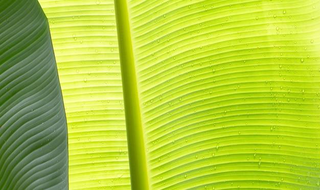 La texture des feuilles de banane pour le fond.