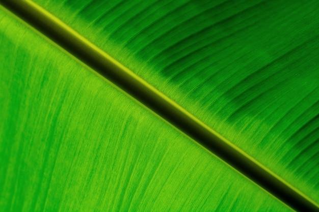 Texture de feuilles de bananier vert.