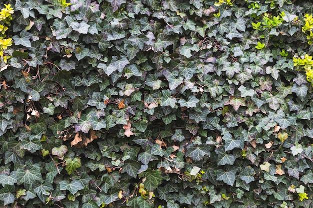 La texture des feuilles de loche verte se bouchent