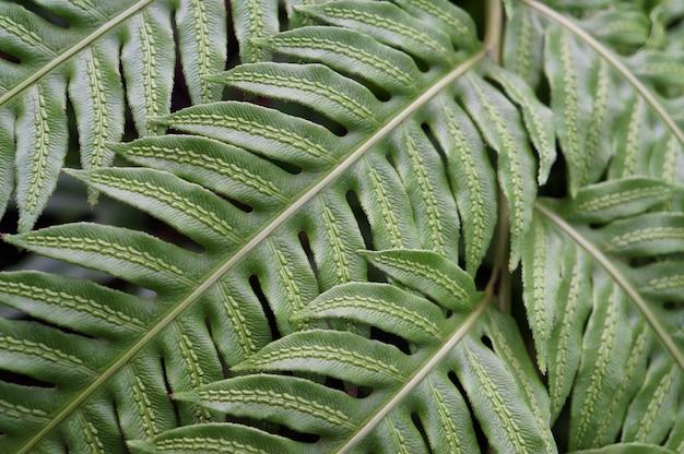 Texture des feuilles vertes d'une fougère, gros plan.