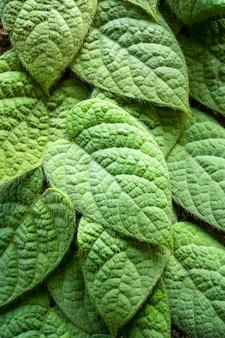 Texture de feuilles vertes fraîches pour le fond de la nature