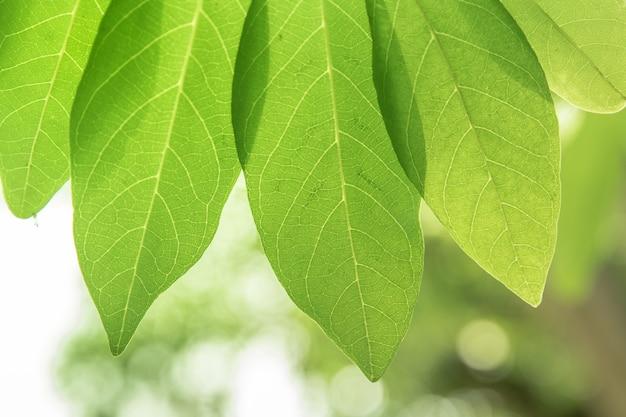 La texture des feuilles vertes avec passage de la lumière du soleil.