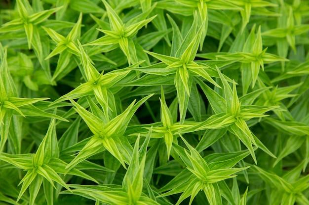 Texture de feuilles vertes pointues d'une plante en croissance. vue de dessus.
