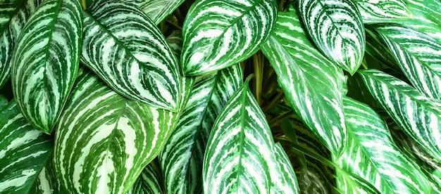 Texture de fond de belles feuilles vertes tropicales. fond de texture de feuille dans la conception de la nature