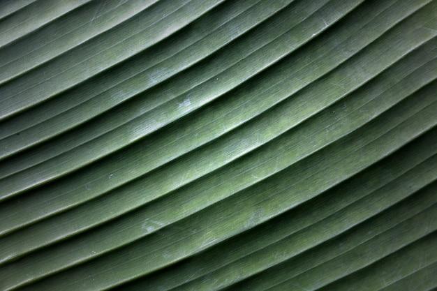 La texture d'un fond de feuille de bananier