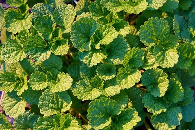 Texture de fond de feuilles vertes à la lumière du soleil.