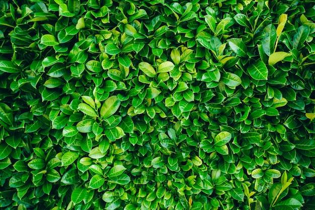 Texture de fond de feuilles vertes
