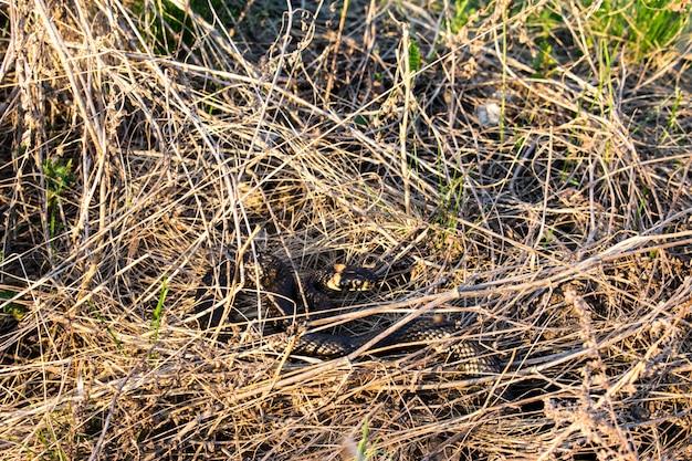 Texture d'herbe de serpent