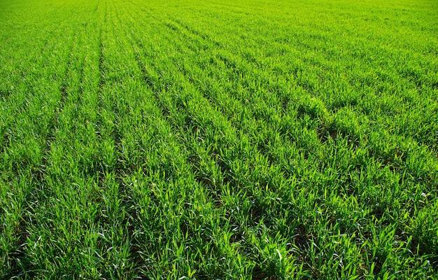 Texture d'herbe verte d'un champ