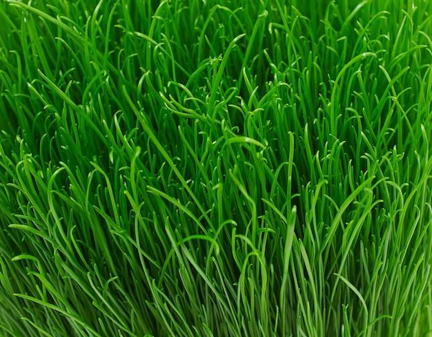 Texture d'herbe verte jeune juteuse