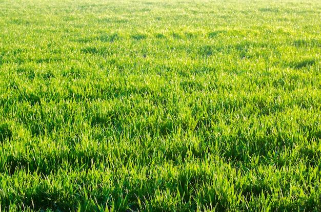 Texture d'herbe verte, printemps, temps ensoleillé, papier peint naturel