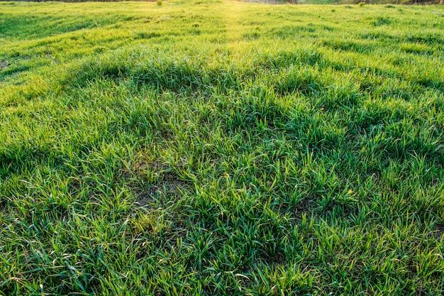 Texture d'herbe verte