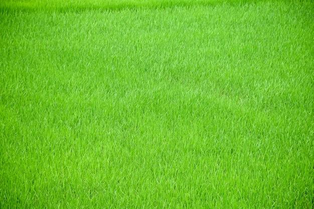 Texture d'herbe
