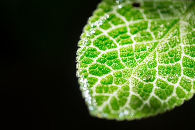 Texture micro closeup feuille verte isolée sur fond noir. science de la vie végétale de la nature.